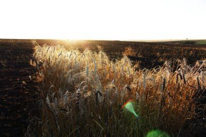 пшениця-пожежа
